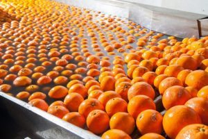 industrial agriculture plant showing oranges on a conveyor
